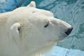 PolyBeest - Wren de ijsbeer